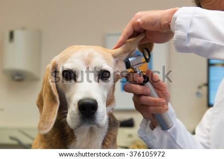 Ear examine by the veterinarian