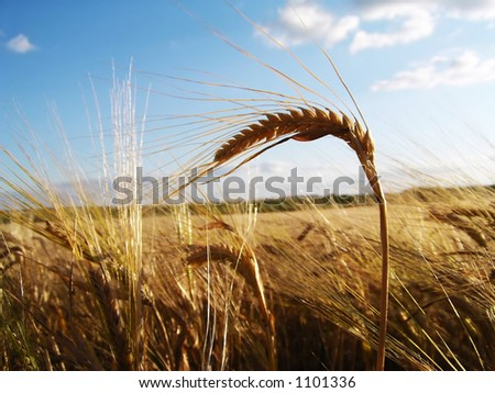 Ear of barley on cornfield background
