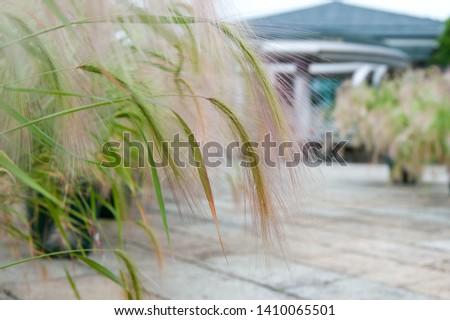 Ear of brown fluffy plants