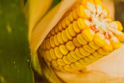 Ear of corn on cultivated cornfield, selective focus, ready to harvest, number of kernels and rows, yellow cob, maize plant