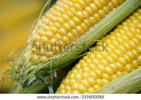 Ear of corn, revealing yellow kernels / Grains of ripe corn / photo of maize / close-up. Selective focus.