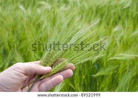 ear of green wheat in hand