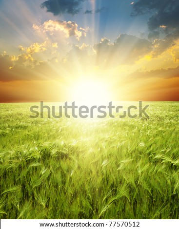 ear of green wheat under sunrays - stock photo