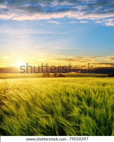 ear of green wheat under sunrays #79050397
