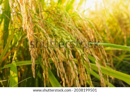 Ear of rice. Close-up to thai rice seeds in ear of paddy. Beautiful golden rice field and ear of rice.