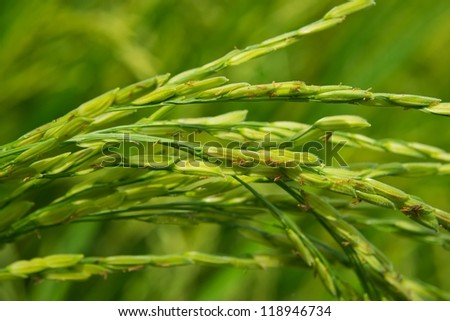 ear of rice in farm of thailand