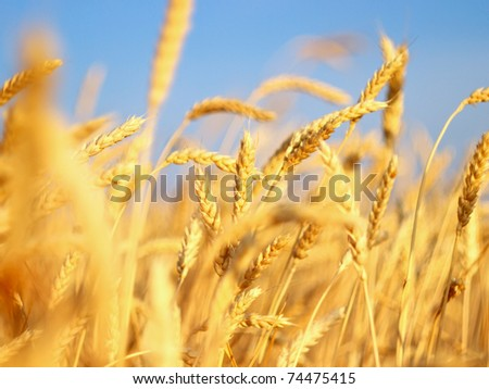 Ear of the wheat on field. Composition of the nature