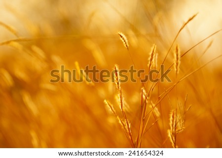 Ear of wheat and sun rays. #241654324