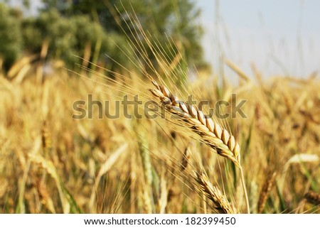 Ear of wheat on a large field #182399450