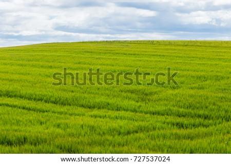 Eared spike of fresh green wheat - Shutterstock ID 727537024