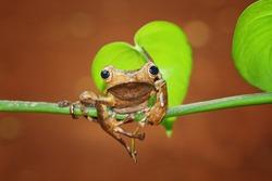 eared tree frog on a twigs , Polypedates otilophus
