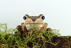 eared tree frog on moss with white background, Polypedates otilophus, animal closeup