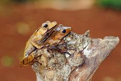 eared tree frogs on tree trunks, Polypedates otilophus