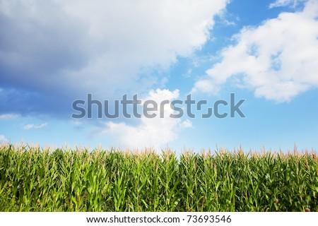 Early autumn cornfield.