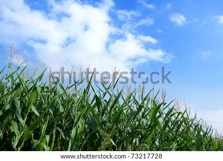 Early autumn cornfield with blue sky in back ground.