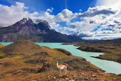 Early autumn in Patagonia. National Park Torres del Paine. On the yellowed grass stands guanaco - Lama. Snow-covered tops of the Andes are in the distance visible
