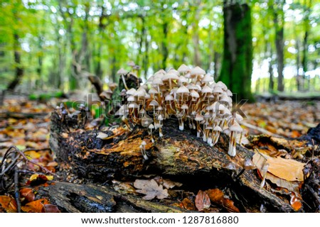 Early autumn scenery with white enoki mushrooms growing on a rotten tree trunk in a forest in Netherlands