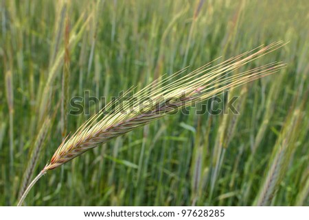 early barley at growing stadium on green field, close up of the ear of corn