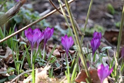 early bloomer crocuses grow bright purple from the ground in the garden in late winter to spring