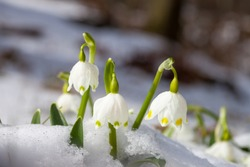 Early bloomers - Spring blooming March mug in the snow. The plant is protected.