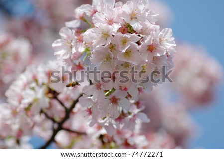 Early blooming Cherry Blossoms in Taiwan
