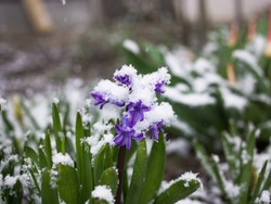 early blooming spring violet hyacinth flower sprinkled with snow. changeable weather. Hi spring. Between winter and spring. Surprise from nature
