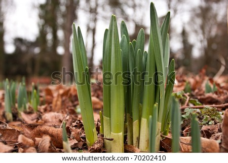 Early daffodil shoots in January in England