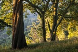Early evening sunlight shines through a peaceful forest among the hills of Berkeley, California. Just east of these tranquil hills is the heavily populated San Francisco Bay Area.