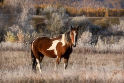 Early frosty sunny autumn morning. The grass and trees are covered with snow-white frost. A piebald mare stands sideways in the field and looks at the camera. Close-up. Free grazing. Altai.