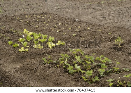 Early growth in vegetable garden