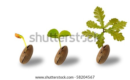 Early life of an oak tree isolated on white