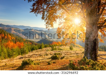 Early Morning Autumnal Landscape - yellow old tree against the sun, mountains range - beautiful fall season #316296692