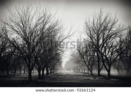 Early morning fog in a Pecan Grove, Arizona.