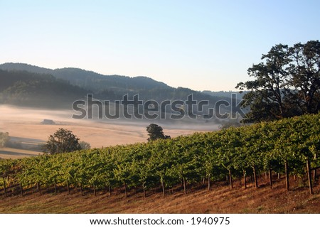 Early morning fog in a vineyard and hills