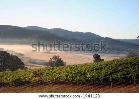 Early morning fog in vineyards and hills