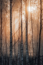 Early morning in birch forest