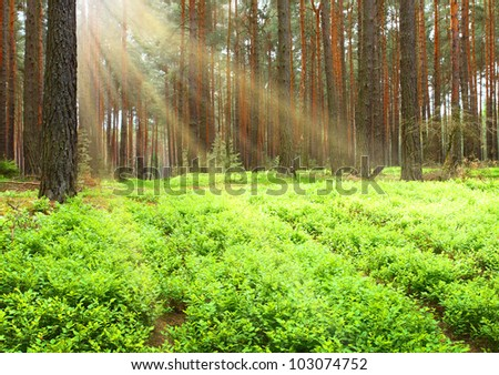 Early morning in The Bavarian Forest, Germany. Natural background with first sun rays in pine forest.