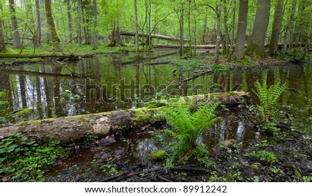 Early morning in the forest with dead spruces lying in water and bunch of ferns in foreground