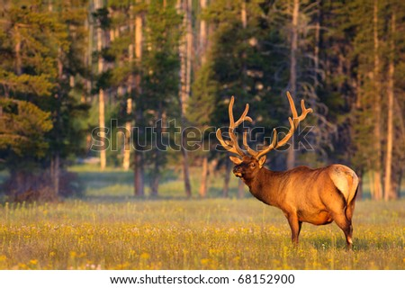 Early morning light shining on a bull elk with velvet covered antlers, Yellowstone National Park.