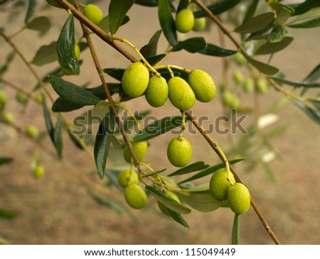 Early morning olives with dew