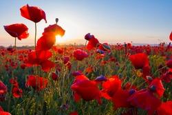 early morning red poppy field scene
