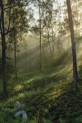 Early morning sun rays shining through misty woods