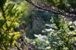 Early morning sun shining on a spider web, Newfoundland and Labrador, Canada