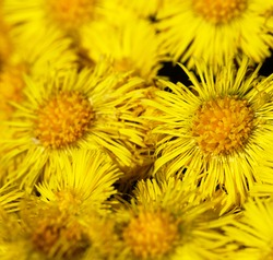 Early North spring. foalfoot (Tussilago farfara) blooms first. Curtaines of bright yellow flowers, flower background