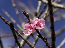 Early peach blossom in Dalat