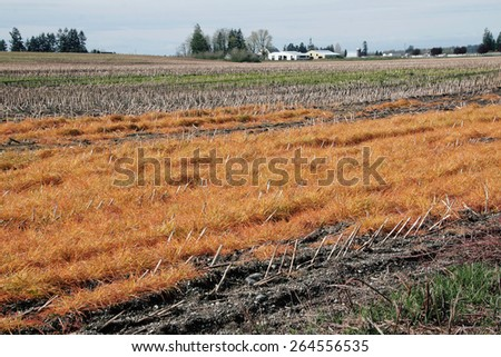 Early Spring and cornfields in Washington State will soon be plowed/Dormant Washington Agricultural Land/Early Spring and cornfields in Washington State will soon be plowed.