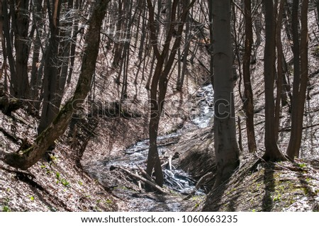 Early spring beech tree defoliated forest scene in sunny day