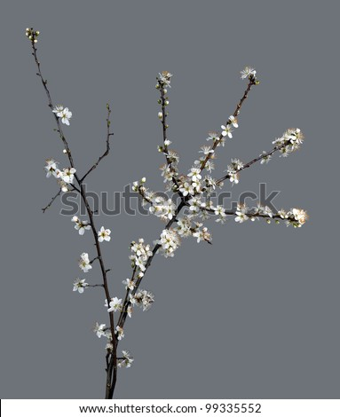 Early spring blackthorn blossom over grey