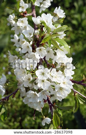 Early spring cherry flower