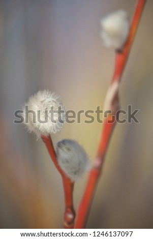 Early spring flowering male catkins (pussy willow, grey willow, goat willow). Branches with Expanded buds for Easter decoration. Close-up of Willow twig as a spring symbol, outdoor.
